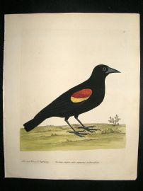 Albin: 1730's Hand Colored Bird Print. Red Winged Starling
